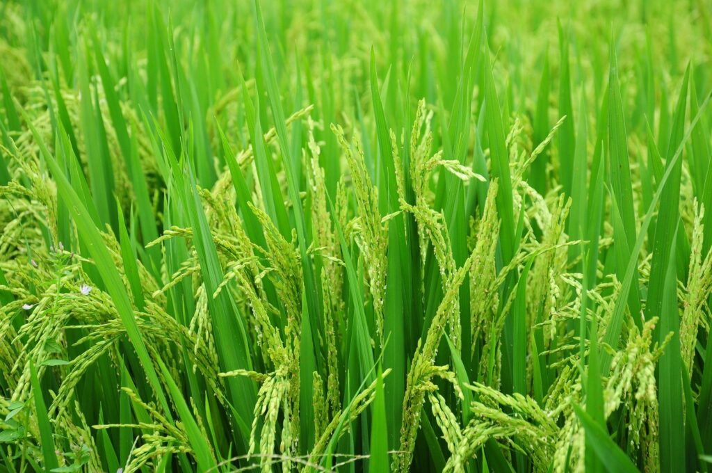 Visual of grain in abundance to signify God's provision.